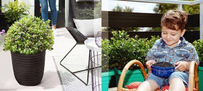 Moderne Blaubeerstrauch-Züchtungen sind eine Alternative für Fans von großen Buchsbaumkugeln im Kübel.