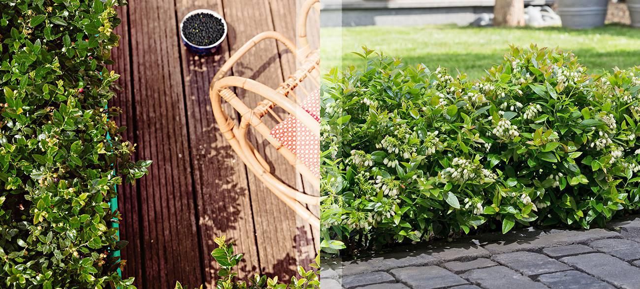 Blaubeeren pflücken – gesundes Naschwerk für Garten, Terrasse und Balkon